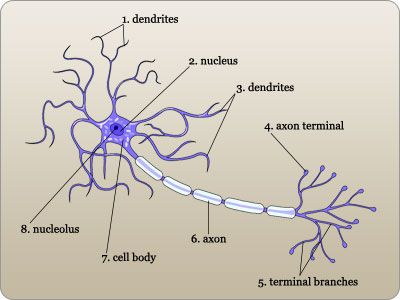 Labeled diagram of a neuron | Anatomy and Pysiology block