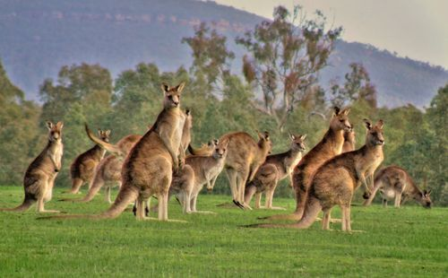 10 Interesting Kangaroo Facts (With images) | Kangaroo facts ...