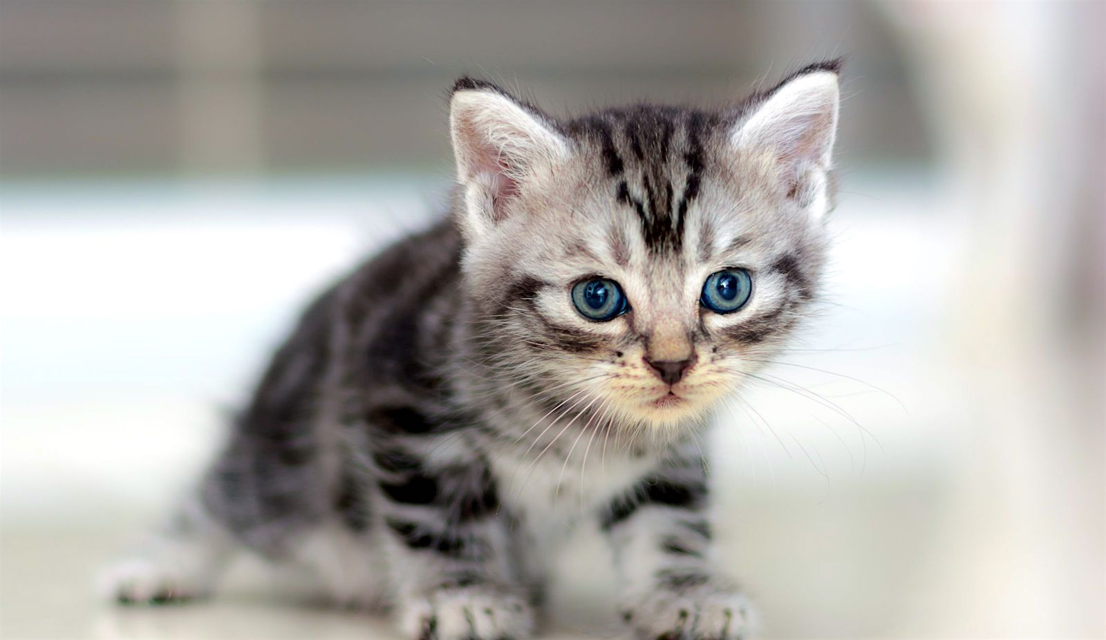 This Is Such A Sweet Little American Shorthair Kitten They Re So Inquisitive Curio American Shorthair Kitten American Bobtail Cat American Shorthair Cat