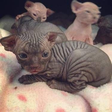 Black Sphynx Kitten Cats And Kittens Kittens Hairless Kitten
