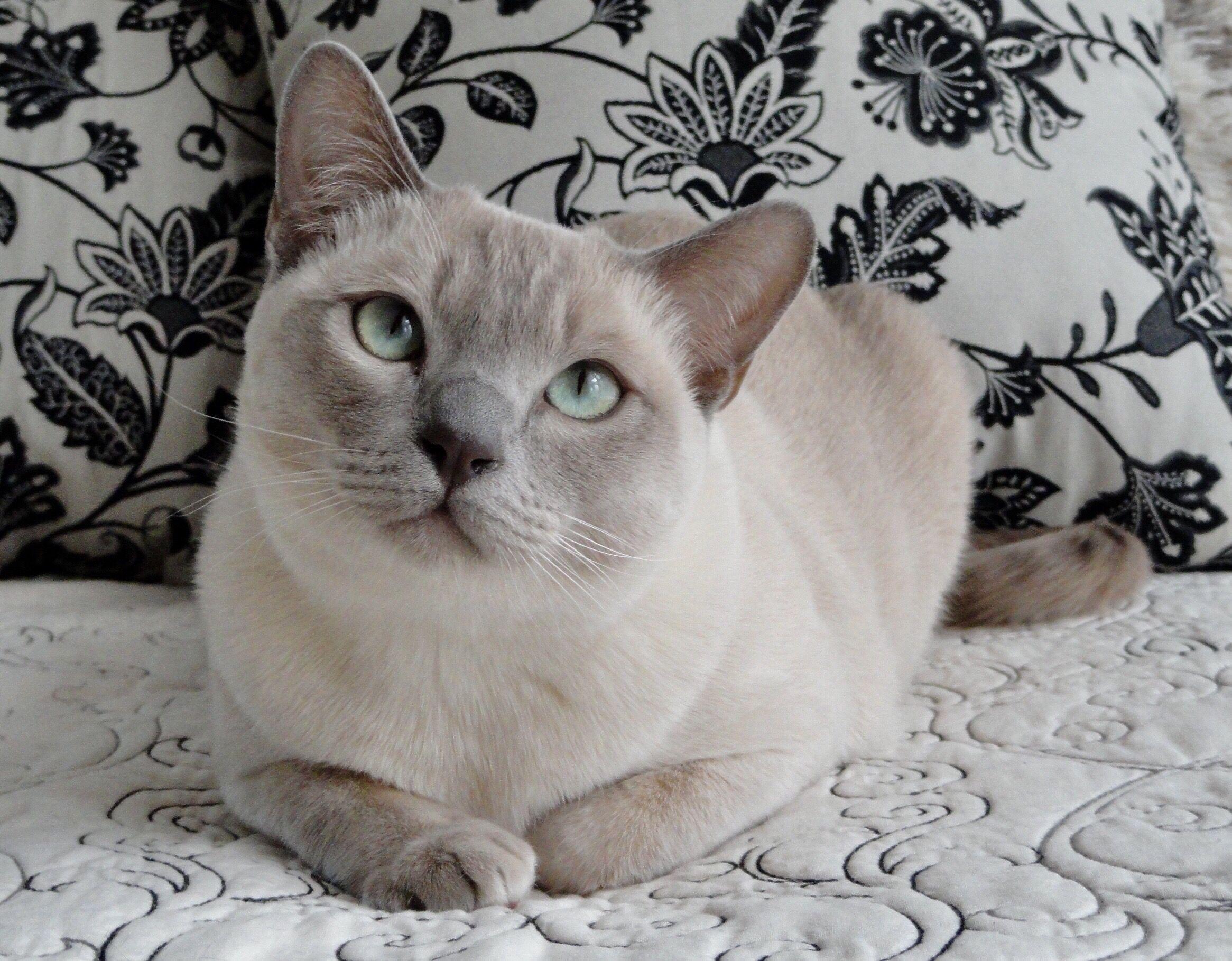 Juno Platinum Point Tonkinese Tonkinese Cat Beautiful Cats