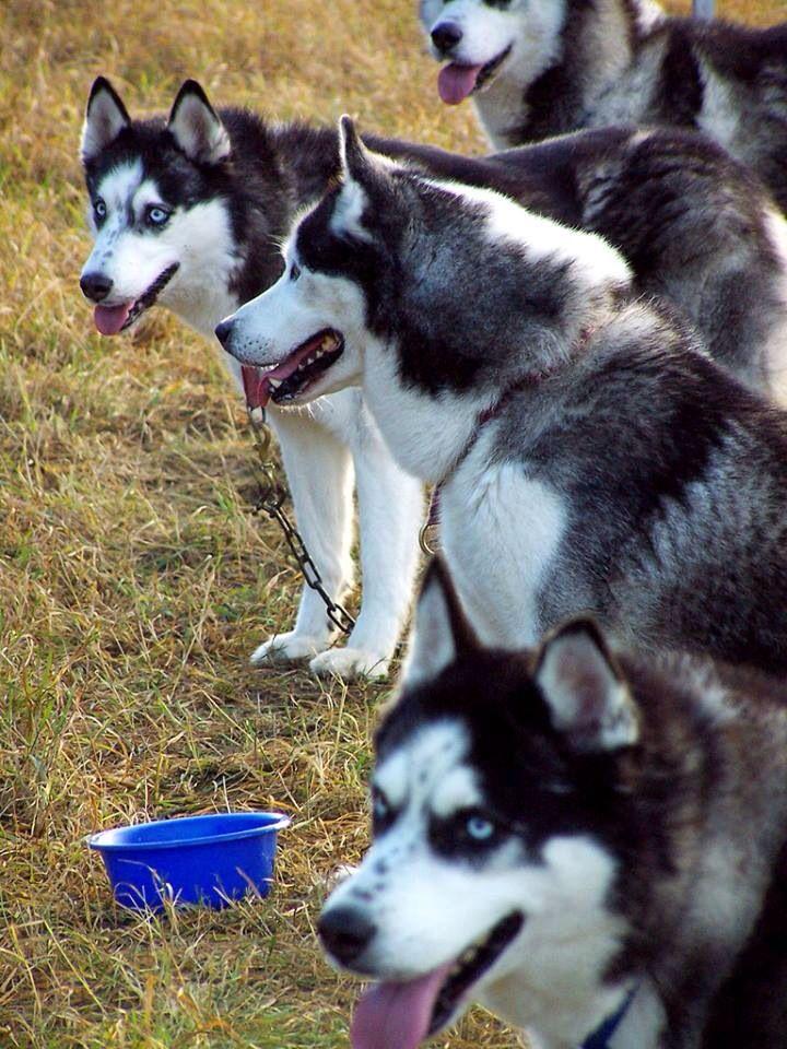 Huskies Siberian Husky Dog Malamute Husky Husky Rescue
