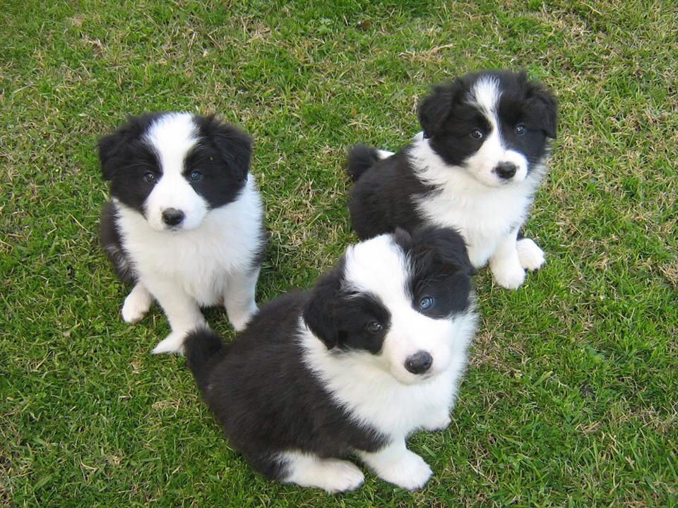 My Favourite Dogs Collie Puppies Border Collie Puppies Collie