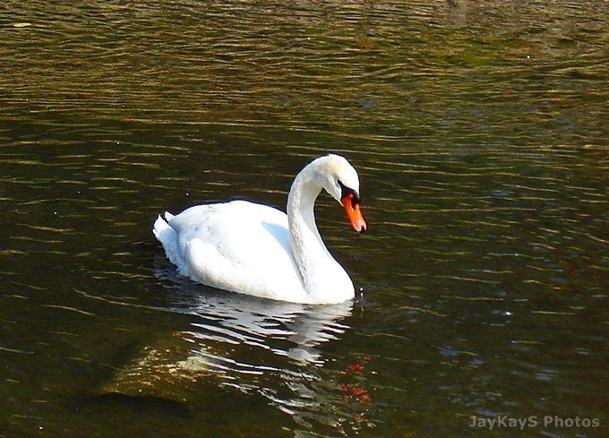 joutsen - a swan