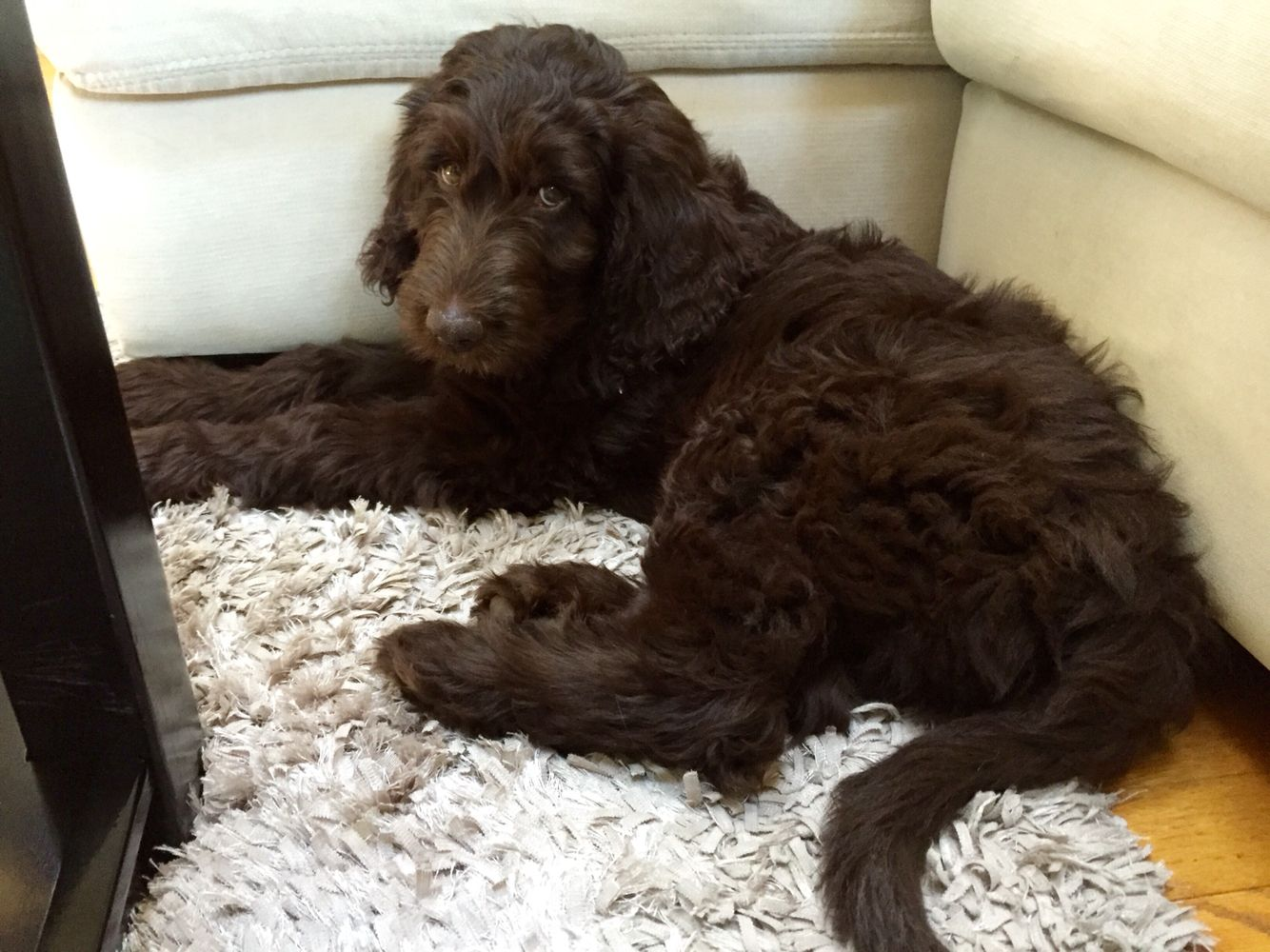 Medium Chocolate Goldendoodle Puppy Named Wrigley Chocolate