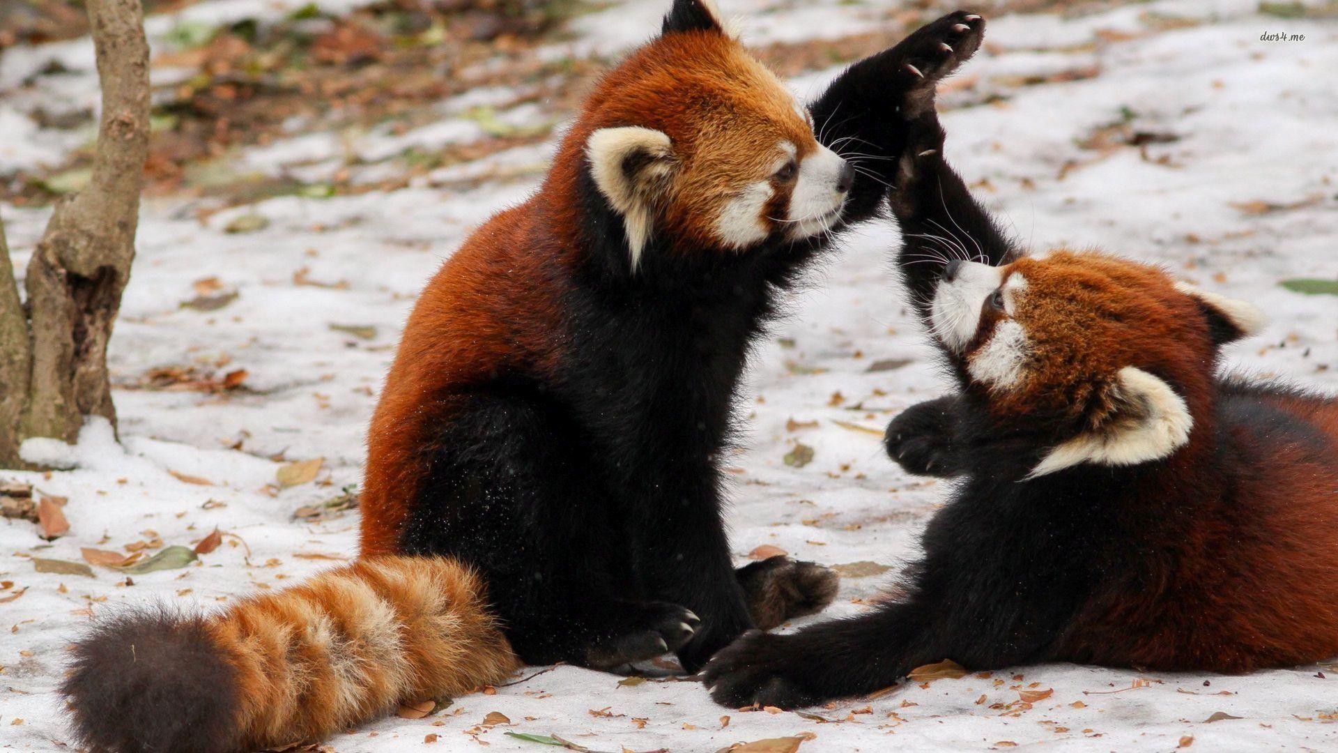 Red Panda Wallpapers Free
