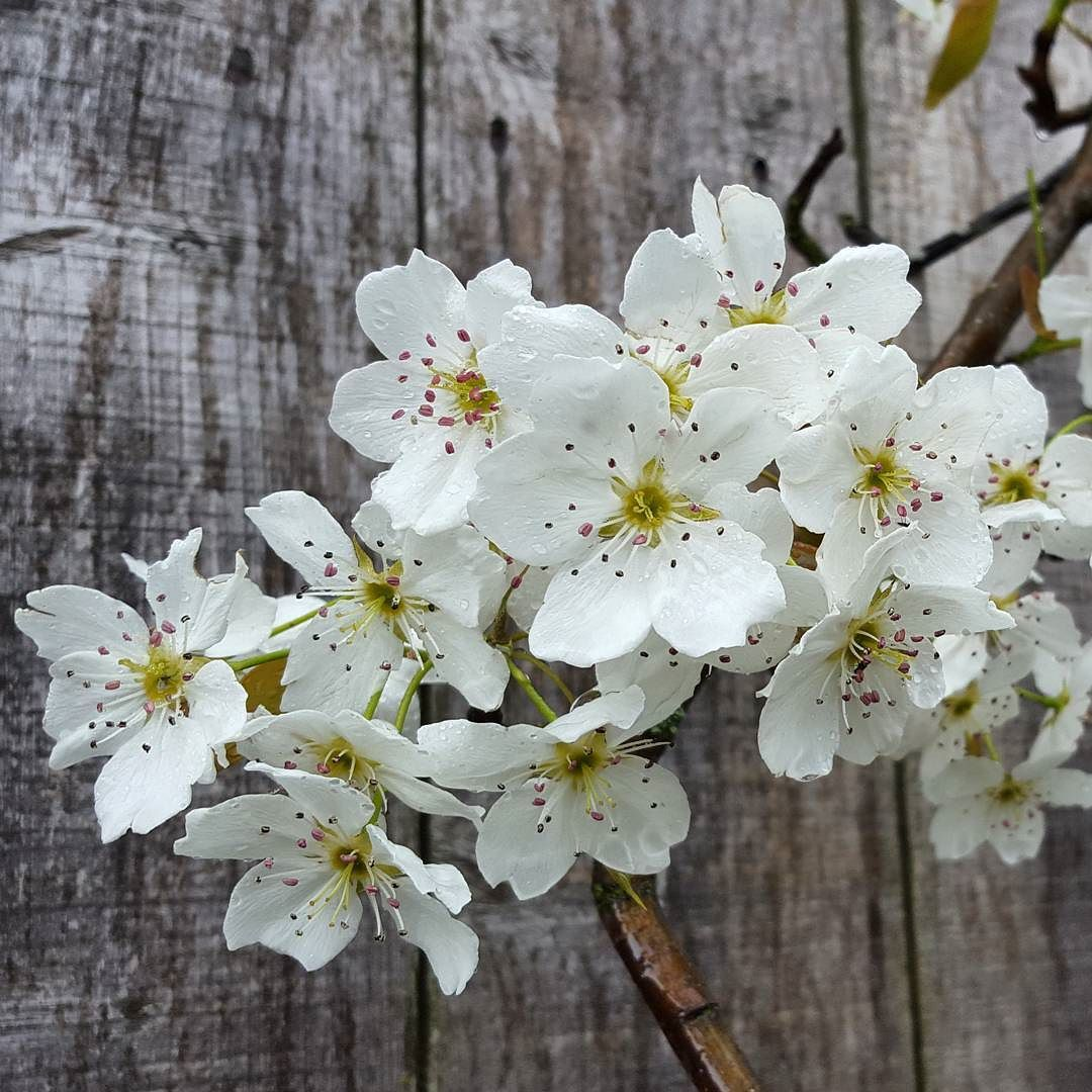 Asian Pear tree in bloom! by livinglifeunscripted