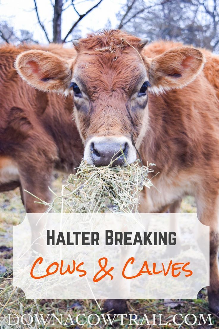 Halter breaking an adult cow (and calf in 2020 Cow calf