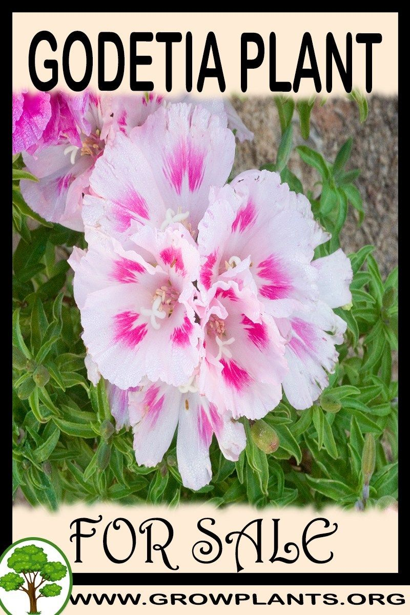 Godetia For Sale Plants Easy Plants To Grow Plant Sale