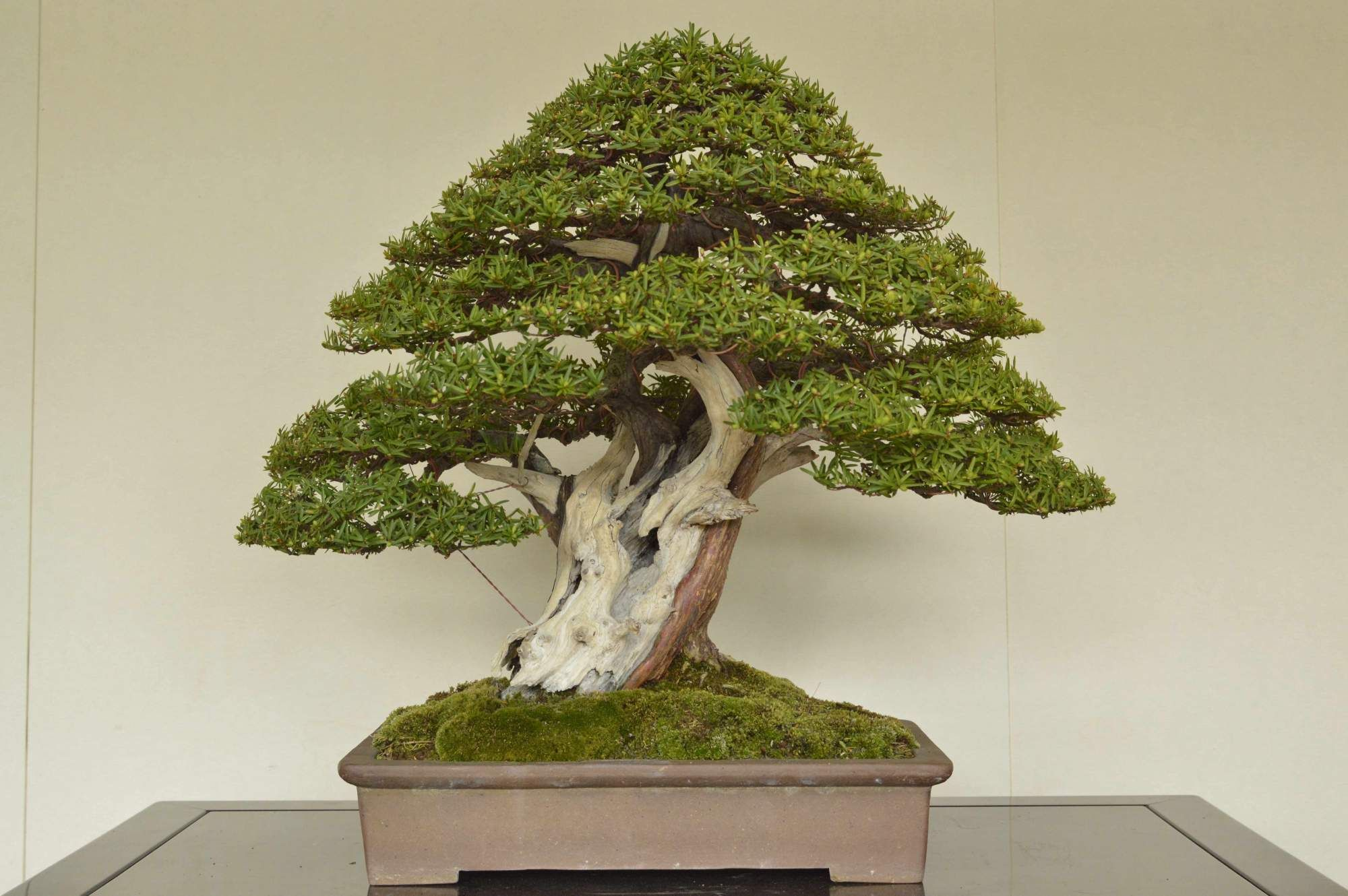 Bjorvala Bonsai Studio Japanese Yew