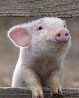 Little piglet smile~