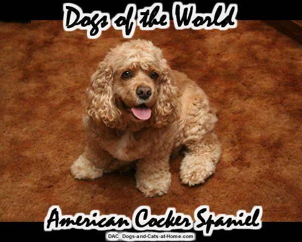 American Cocker Spaniel Mit Bildern Hunderassen Jagdhunde Hunde Rassen