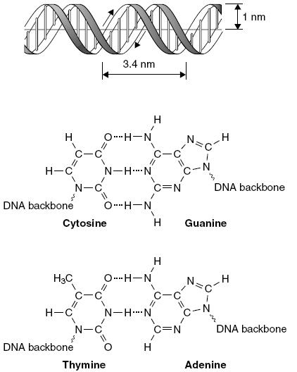 كيف يتم الحفاظ على البنية ثلاثية الأبعاد للحلزون المزدوج للحمض النووي الكيمياء العربي Chemistry Math Dna