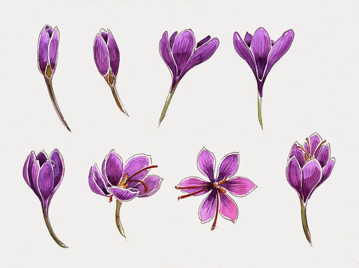 lineandwash Crocus studies three Flower drawing, Flower