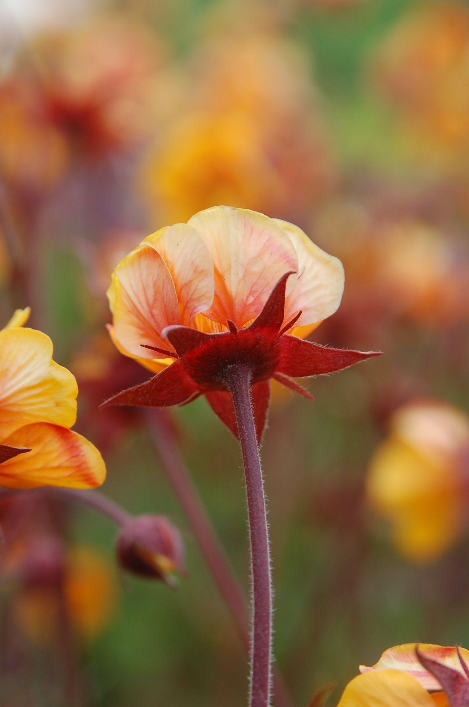 Geum Spanish Fly Fiori flowers blumen Pinterest