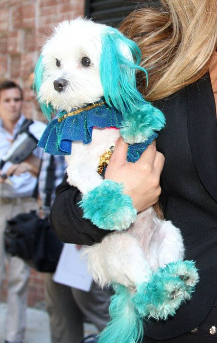 Turquoise Dyed Maltese My Chanceee Poo Will Hopefully