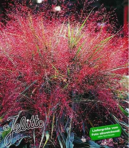 Baldur Garten Rotes Liebesgras 3 Pflanzen Eragrostis Spectabilis Liebesgras Bepflanzung Garten