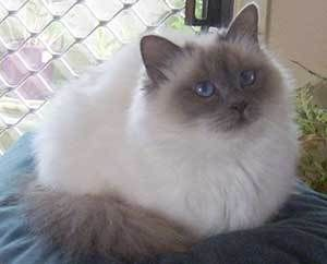 Adopt Philippe On Fancy Cats Gorgeous Cats Pretty Cats