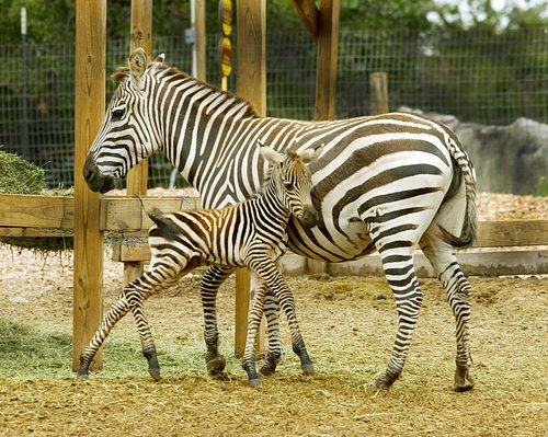 Baby Zebra At Capital Of Texas Zoo Born 5 21 12 So Precious