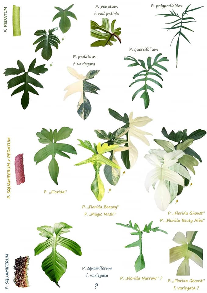 Useful charts for you plant collectors   Philodendron ...