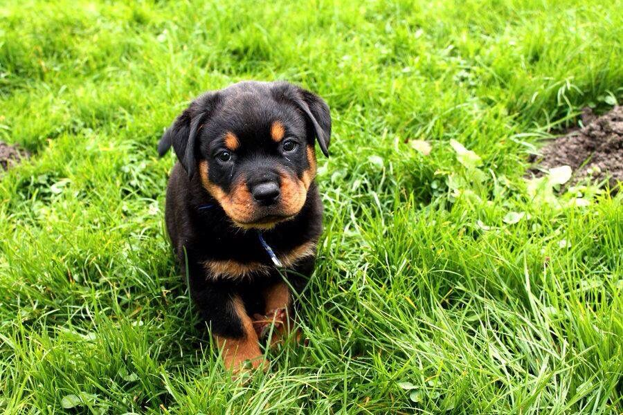 Rottweiler Pup Dog Coughing Rottweiler Facts Rottweiler Puppies