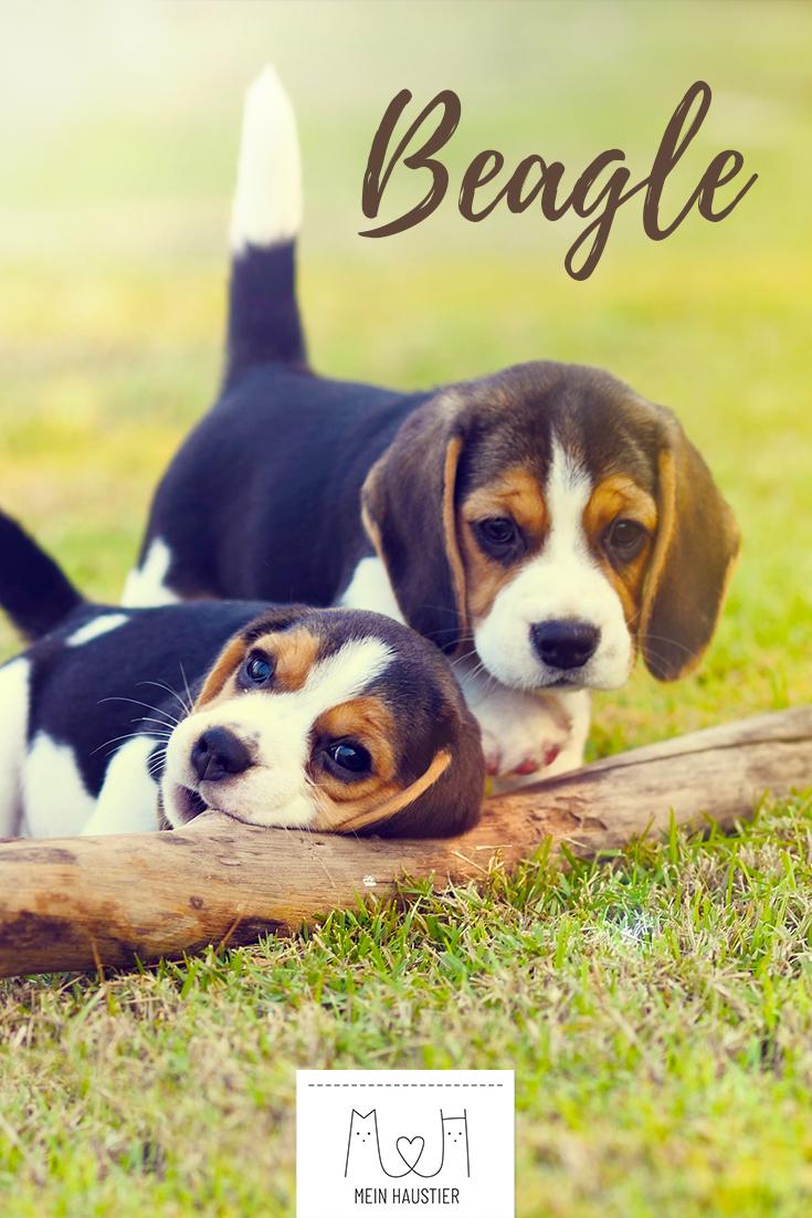 Der Beagle Ist Ein Kinderlieber Und Freundlicher Hund Mit Starkem Selbstbewusstsein Erfahrt Hier Im Steckbrief Alles Uber Die Hunde Rassen Hunderassen Beagle