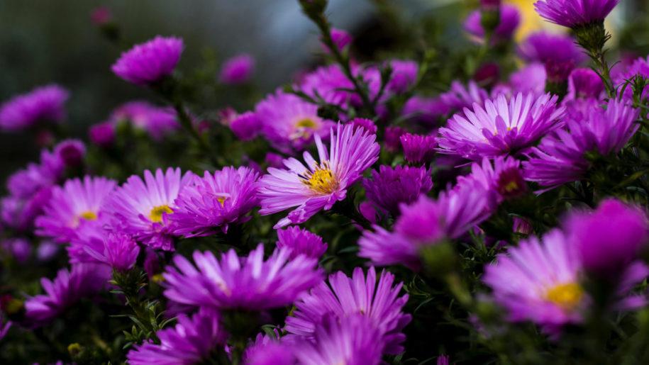 Garden Plants Blossoming On Purple Aster Flowers Summer 4k Ultra Hd Wallpaper For Desktop Laptop Tablet Flower Landscape Types Of Purple Flowers Purple Flowers