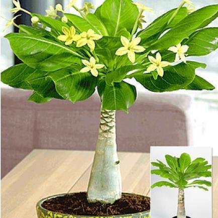 Grünpflanzen Für Dunkle Ecken 11 zimmerpflanzen für dunkle ecken hawaii pflanze und pflanzen