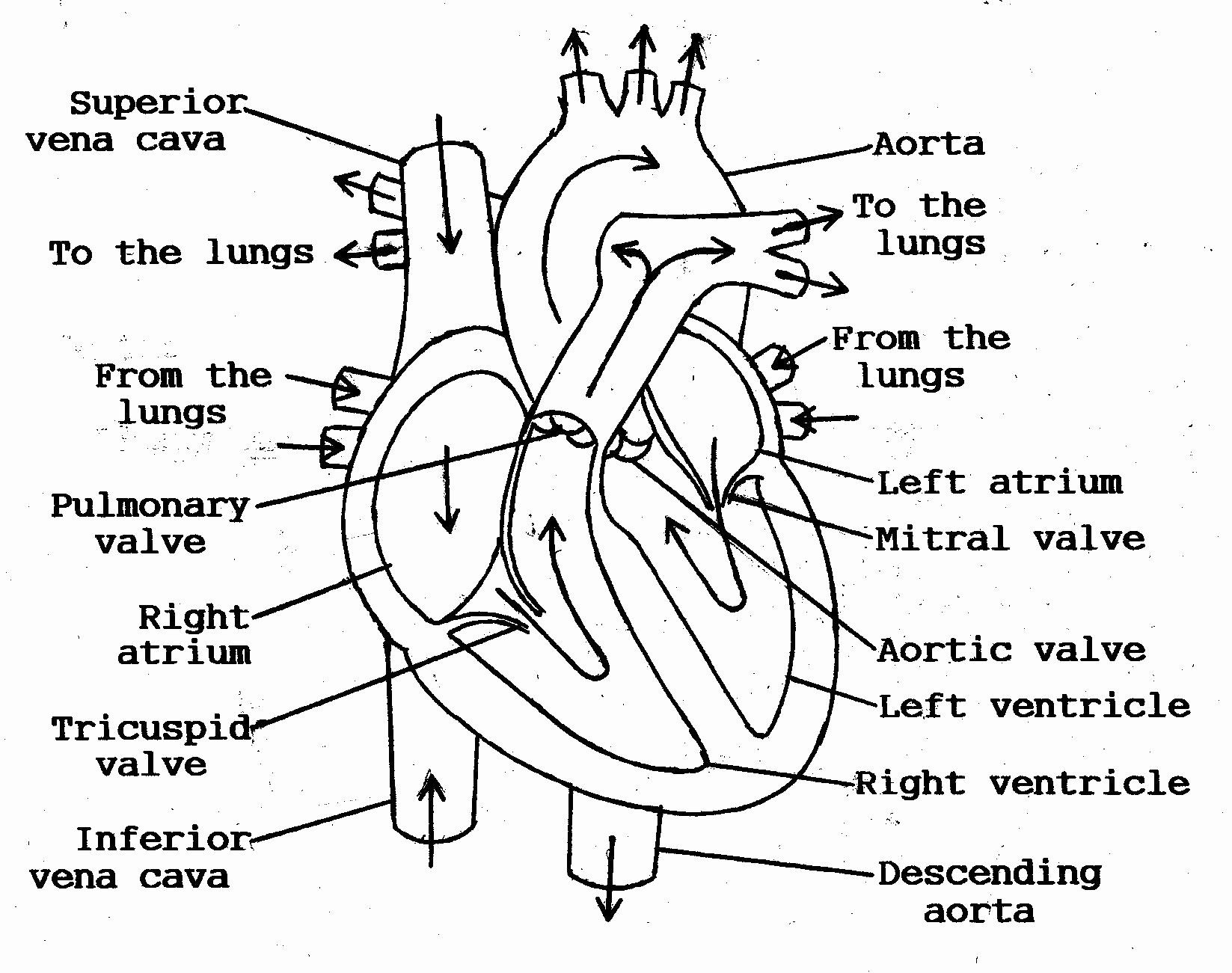 Human Heart Coloring Page In 2020 Heart Diagram Human Heart