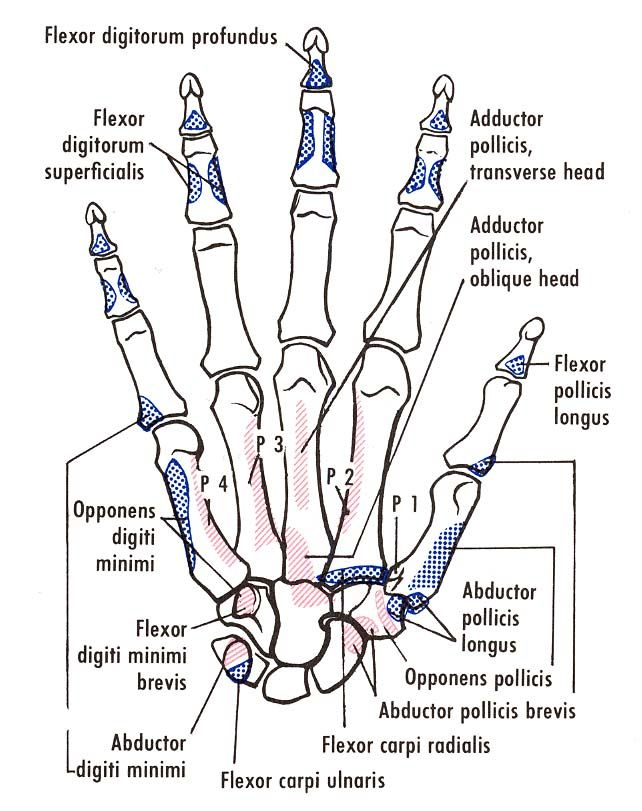 Bones of the right hand, showing muscular attachments, anterior vie ...