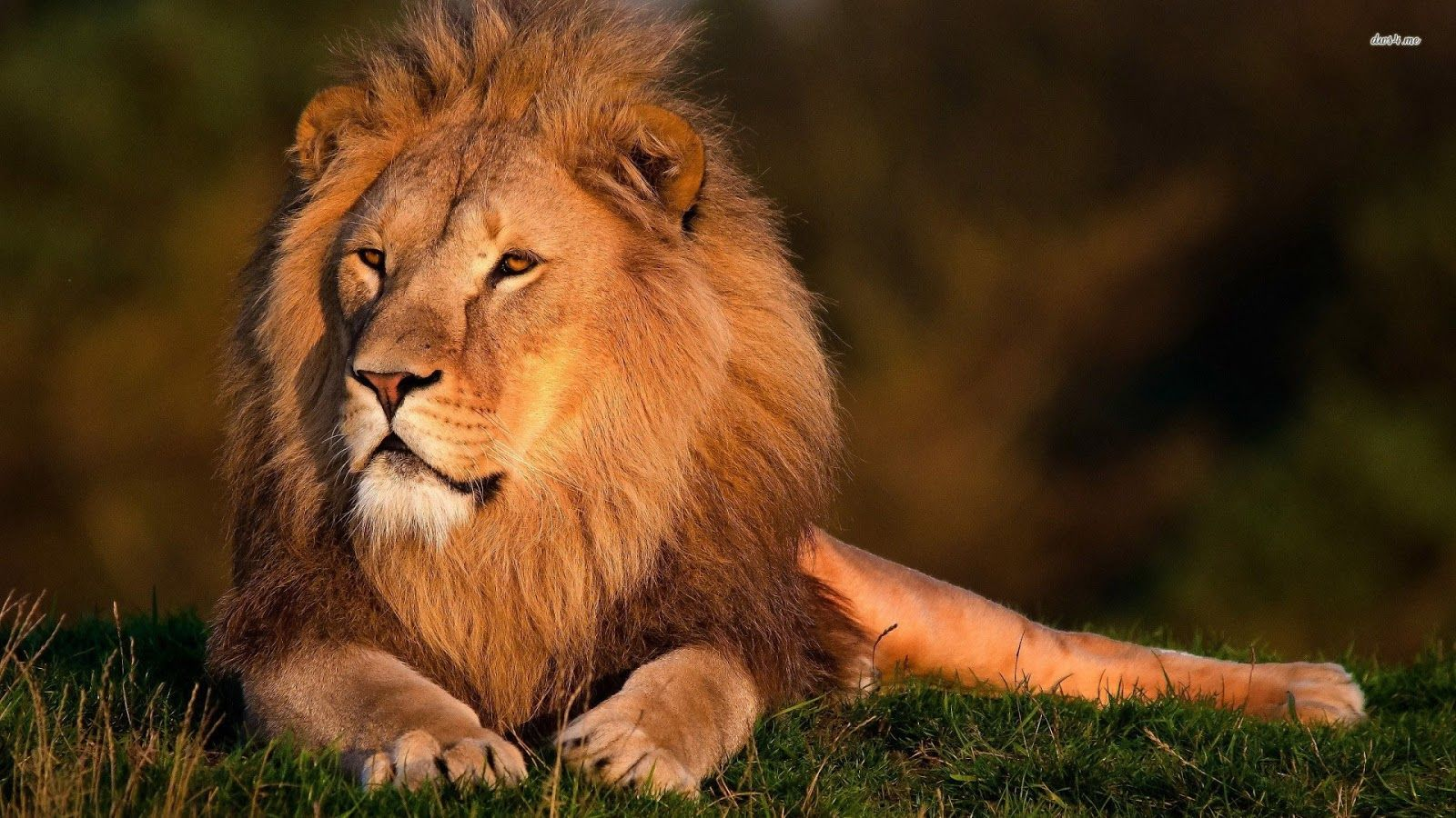 10 Different Types Of Lions with Fact and Pictures Animais