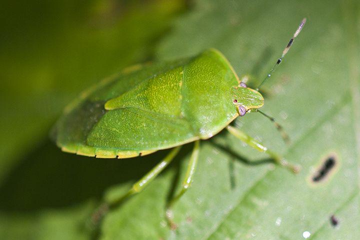 نتيجة بحث الصور عن green bug