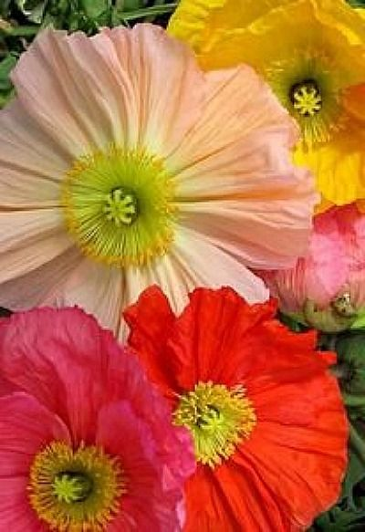 Pin by poppidus on flowers pinterest flanders poppy and flowers mightylinksfo