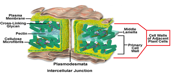 talk2bio distinctive features of plant cell plant cell on cell wall function id=92972