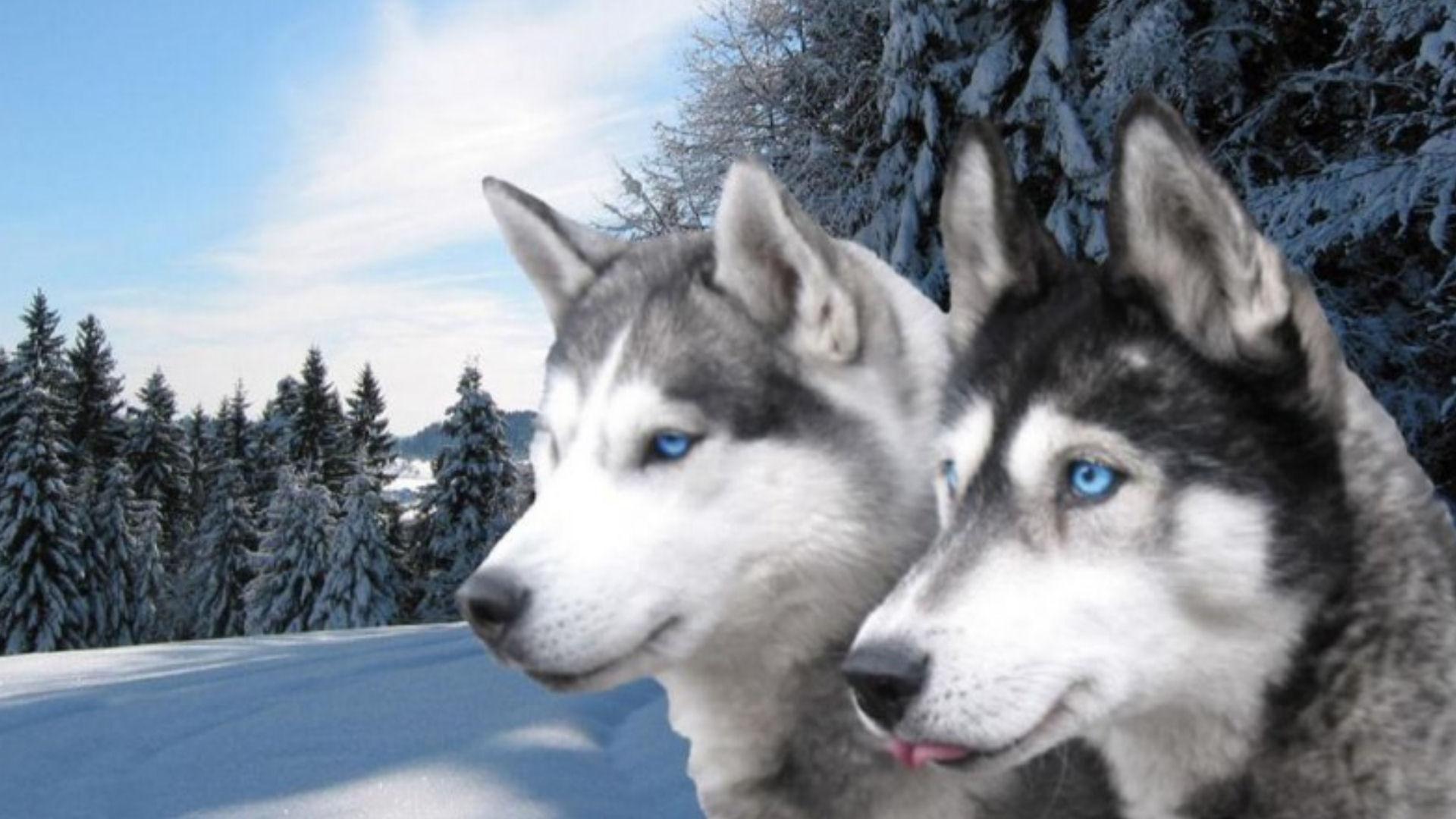 beautiful siberian huskies wallpaper #59439 - resolution 1920x1080