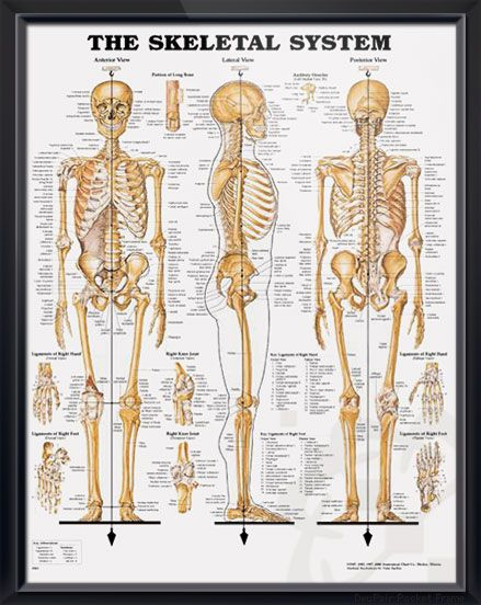 The Shoulder and Elbow Framed Medical Educational Informational Poster Diagram Doctors Office School Classroom 22x28 Inches