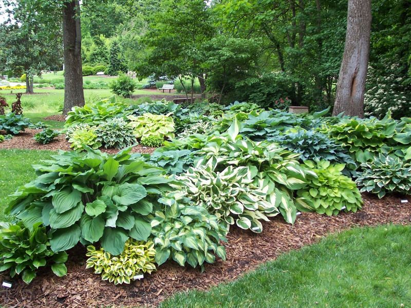 mixed hostas bed west