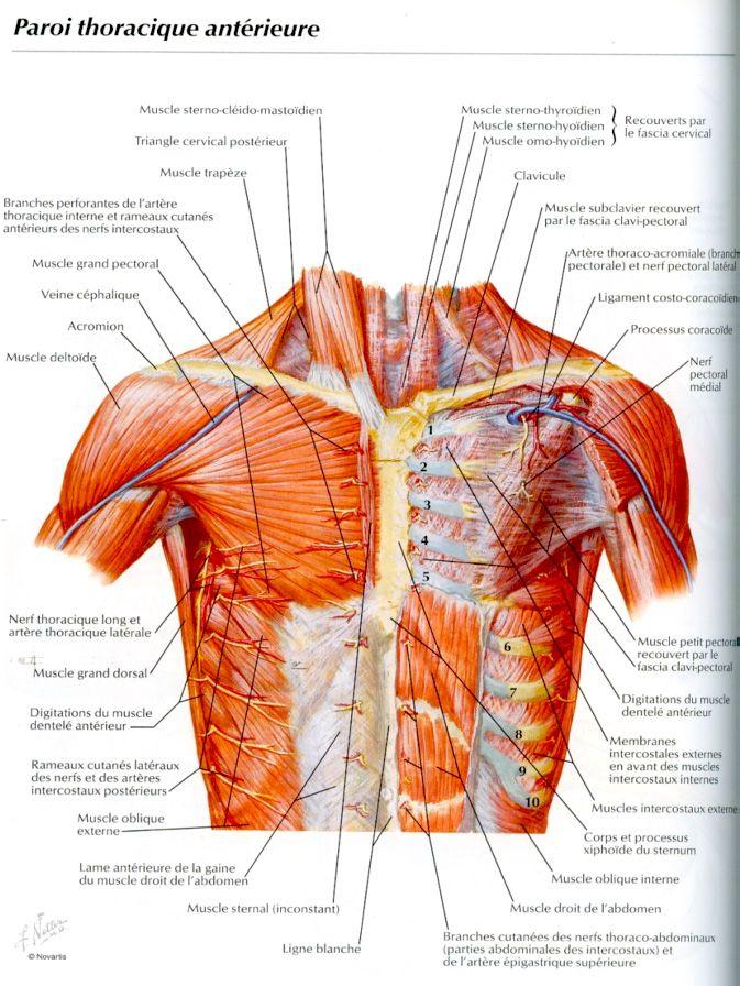 """Top Résultat de recherche d'images pour """"muscle epaule douloureux  GJ94"""