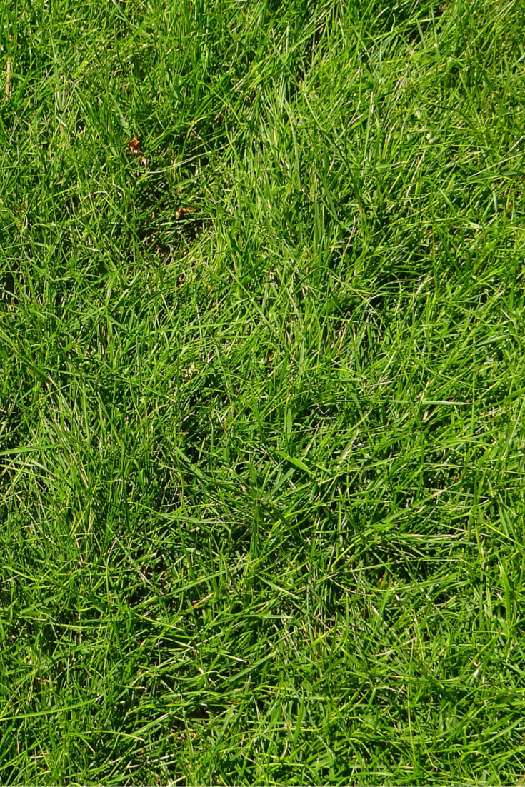 Is there a turf that's weed resistant? Sir Walter Buffalo turf has a soft leaf, lush and green, that has a tight growth habit to hold out most weeds. It can grow in almost any type of soil and season - and best part, it's easy to maintain. Contact J & B Buffalo Turf Supplies on 1800 668 786 or visit their website.