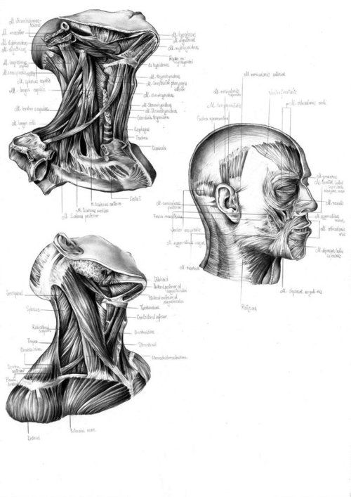 The neck and face #Anatomy | Healing and Body Work | Pinterest ...