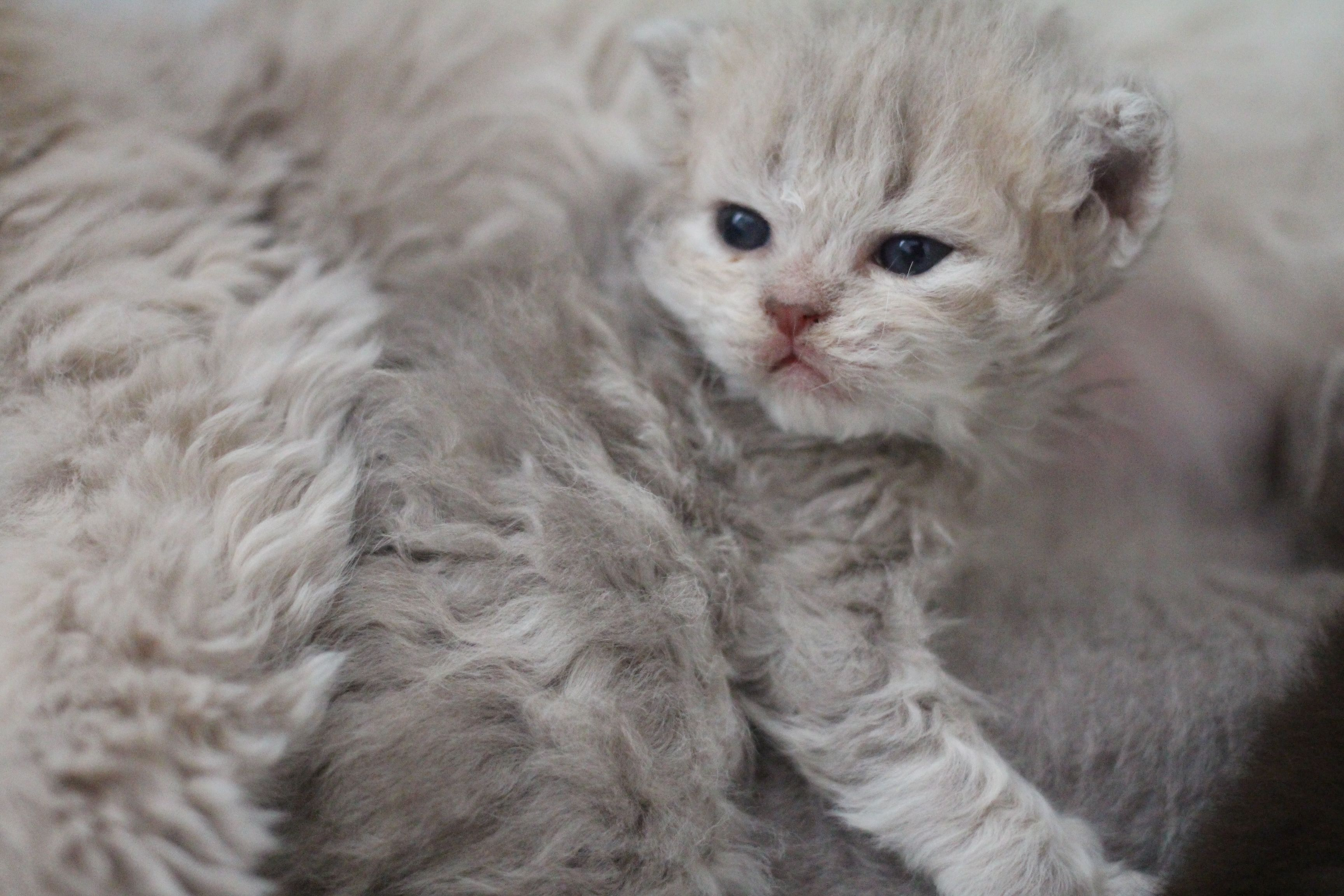 These Poodle Cats Are So Curly You Ll Squeal With Delight When You See Them Cats Curly Haired Cat Poodle