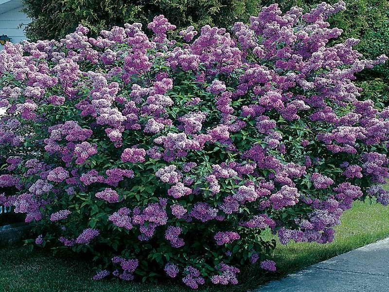 Flowering evergreen shrubs full sun for Small evergreen flowering trees