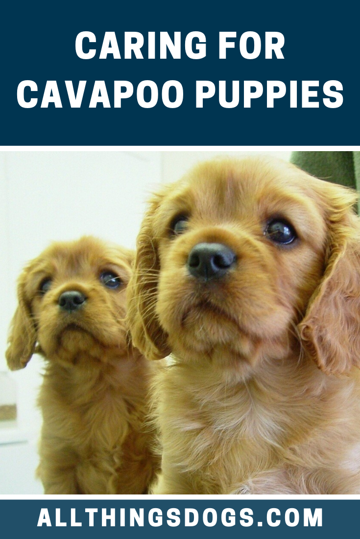 The Cavapoo Is Highly Trainable The Whole Family Can Get