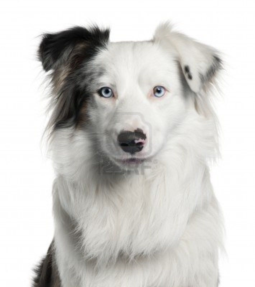 Stock Photo White Border Collie Collie Dog Dogs