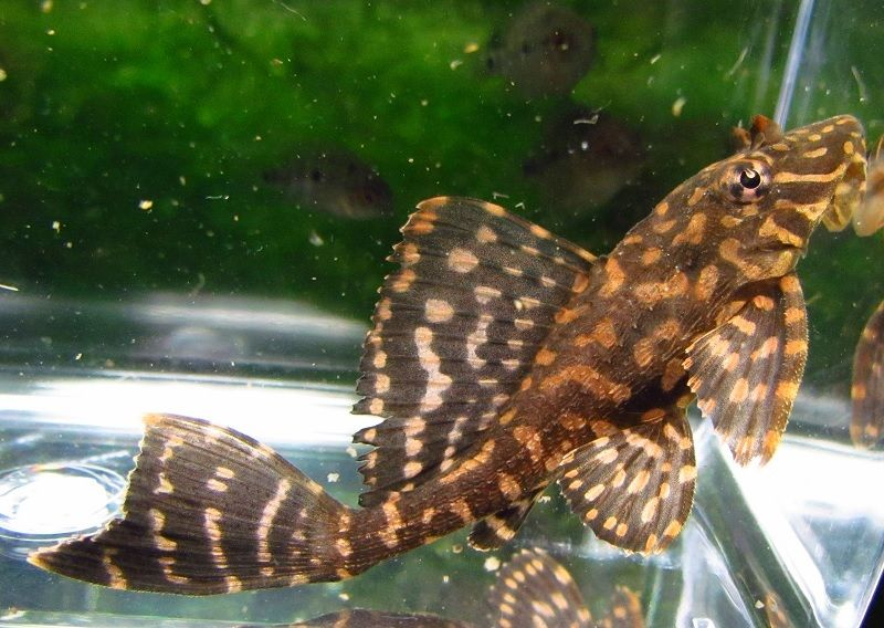 Leopard Sailfin Pleco Aquarium Fish Freshwater Aquarium Fish Freshwater Aquarium