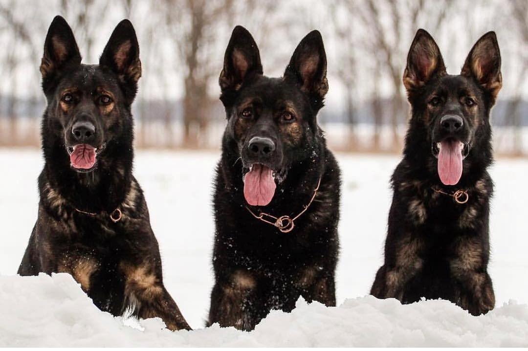 Latigo And His Daughters Avella And Eona German Shepherd