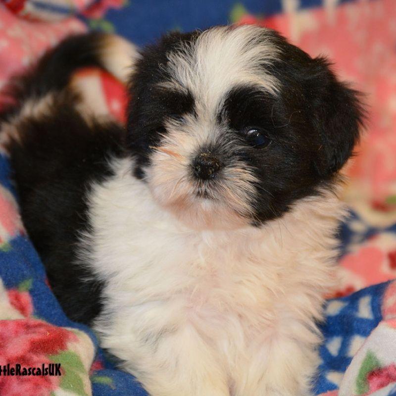 Shih Tzu Female Puppies For Sale Black White Little Rascals