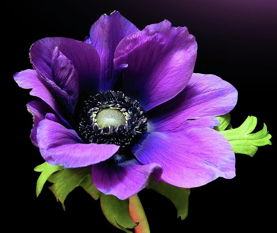 Purple Anemone Flower By Gitpix Anemone Flower Anemone Flower Painting