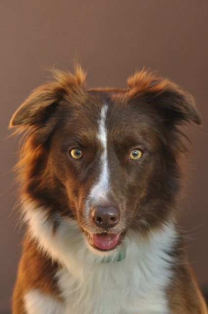 Red And White Border Collie Collie Dog White Border Collie Collie