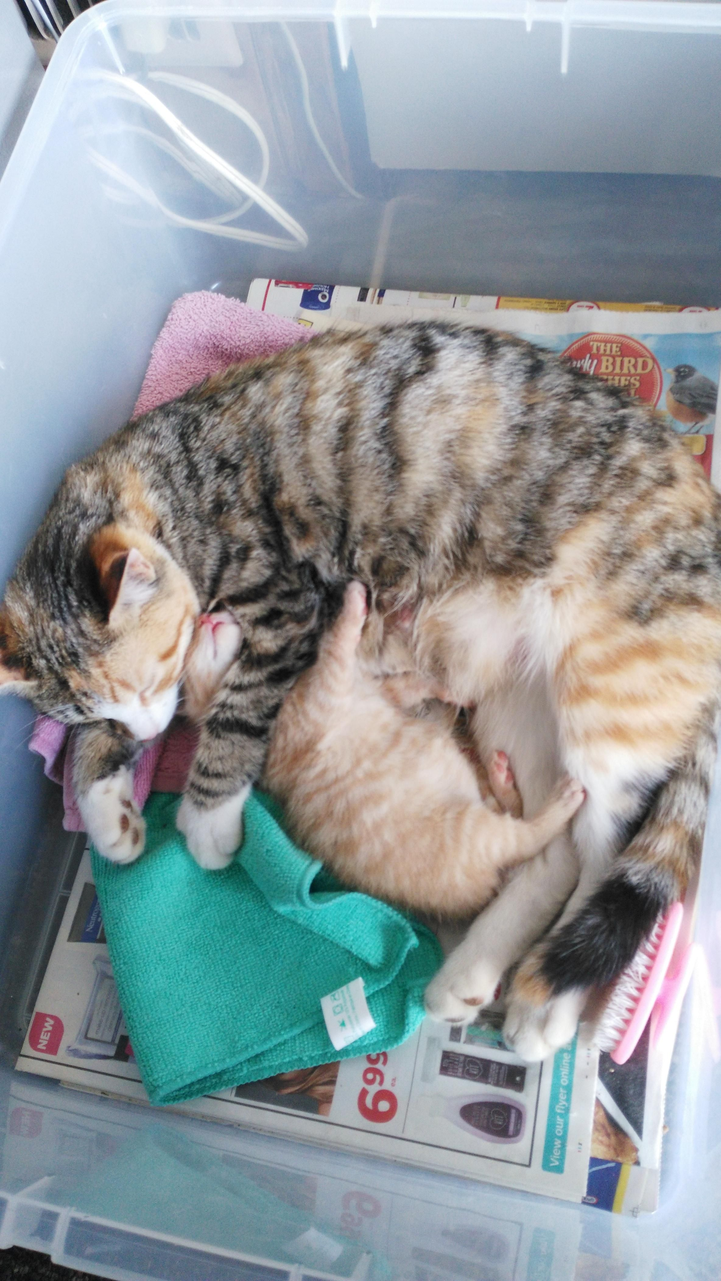 Last Remaining Kitten Of Her First Litter Http Ift Tt 2pcefar With Images Kittens Litter Domestic Cat